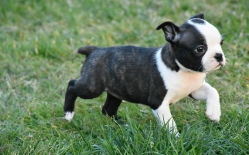 ★CHARMING BOSTON TERRIER PUPPIES NOW READY FOR ADOPTION★ Image eClassifieds4u