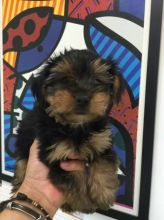 Purebred Yorkie- Ready to go now