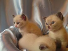 Adorable Snowshoe Kitten Ready To Go Home With You Today! (972)-734-5559