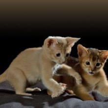 Beautiful Registered Abyssinian Kittens (972)-734-5559