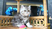 Exotic Short Hair Kittens For Sale (972)-734-5559