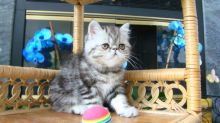 Exotic Short Hair Kittens For Sale (972)-734-5559 Image eClassifieds4u 1