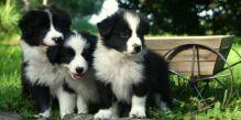 ckc border collie pups