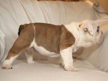 Beautiful English bulldog puppies Image eClassifieds4u 2