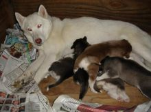 Siberian Husky puppies For New homes (804)250-1462