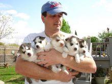 Siberian Husky puppies For New homes (804)250-1462 Image eClassifieds4u 2