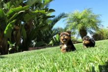 Yorkie puppies ready for adoption call/text (701) 347-1264