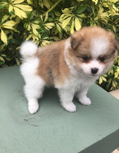 Angelic Pomeranian Puppies Now Ready For Adoption Image eClassifieds4u