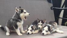 Amazing C.K.C Registered Siberian Husky Puppies For Adoption
