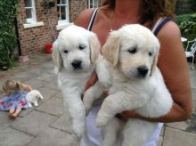 C.K.C Male/Female Golden Retriever Puppies For Adoption