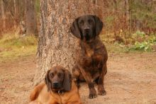 Pure Breed Hanoverian Bloodhound puppies