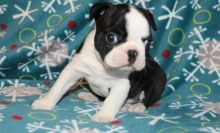 🏁☮ C.K.C Boston Terrier Puppies ♥‿♥ ✿🏁☮Guaranteed LEGIT& Fast Delivery 🏁🏡