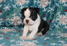 🏁☮ C.K.C Boston Terrier Puppies ♥‿♥ ✿🏁☮Guaranteed LEGIT& Fast Delivery 🏁🏡 Image eClassifieds4u 1