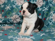 🏁☮ C.K.C Boston Terrier Puppies ♥‿♥ ✿🏁☮Guaranteed LEGIT& Fast Delivery 🏁🏡 Image eClassifieds4u 3