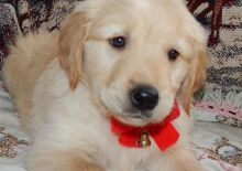 Adorable Golden Retriever available to loving homes