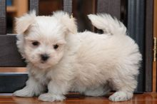 Male and Female Maltese Puppies Available To Loving Homes