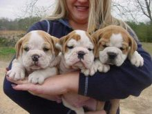 Brave Amicable Charming English Bulldog Pups Looking For A Home