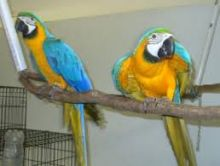 Talking Macaw babies want a new forever home. Image eClassifieds4u 2