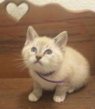 Siamese Snowshoe Kittens