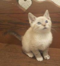 Siamese Snowshoe Kittens Image eClassifieds4u 3