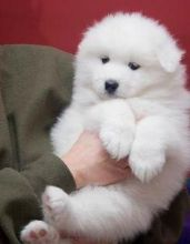🏁☮ Cute C.K.C Samoyed Puppies For Adoption♥‿♥ ✿🏁☮Guaranteed LEGIT& Fast Delivery � Image eClassifieds4u 1