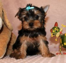 Angelic Teacup Yorkie Puppies