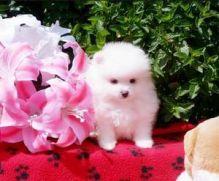 Precious pomeranian puppies for caring home