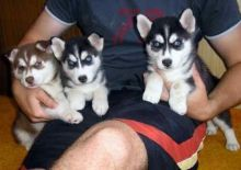 ♥‿♥ ✿ Blue Eyes Siberian Husky Puppies 🏁☮Guaranteed LEGIT& Fast Delivery 🏁