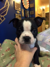 Charming Boston Terrier Puppies Now Ready For Adoption