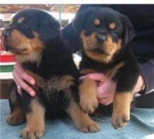 C.K.C Rottweiler Puppies For For Adoption