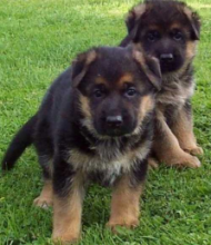 Healthy C.K.C German Shepherd Puppies Now Ready For Adoption