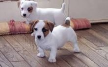 Registered C.K.C Jack Russell Terrier Puppies For Re-Homing