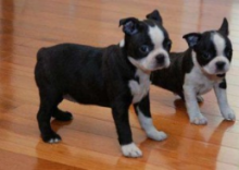 Affectionate Boston Terrier Puppies For Re-Homing