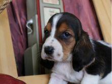 Amazing Characteristics Basset Hound Puppies For Adoption