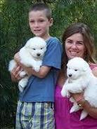 Excellent Samoyed Puppies Available