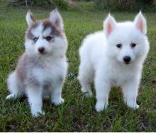 Registered C.K.C Pomsky Puppies Now Ready For Adoption