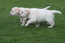 Adorable Labrador Retriever Available