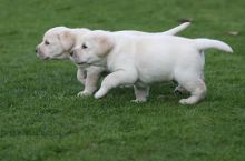 Adorable Labrador Retriever Available