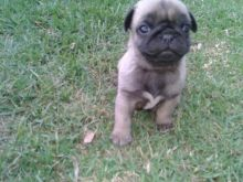 Quiet Pug Puppies Available For Good Homes