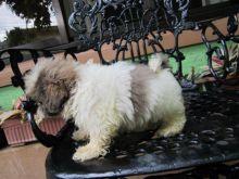 Spunky CKC Pure Breed Shih Tzu Puppies.