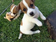 Outstanding Jack Russell Terrrier Puppies