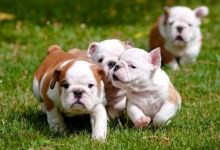 Top Registered English Bulldogs Puppies