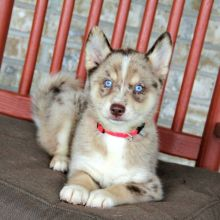 Cute male and female Pomsky Puppies available.