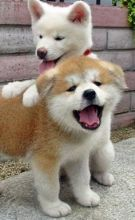 ASTONISHING Shiba Inu Puppies For Adoption