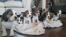 9162779628 quality kc registered beagle puppies for sale,