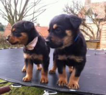 Energetic Rottweiler Puppies Available For Adoption