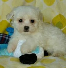 EVIE - MALTESE PUPPY FOR SALE