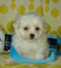 EVIE - MALTESE PUPPY FOR SALE Image eClassifieds4u 2