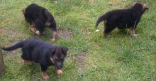 Smart Ckc Reg German Shepherd Puppies