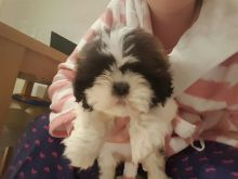 Beautiful Shih Tzu Puppies male and female for free adoption.